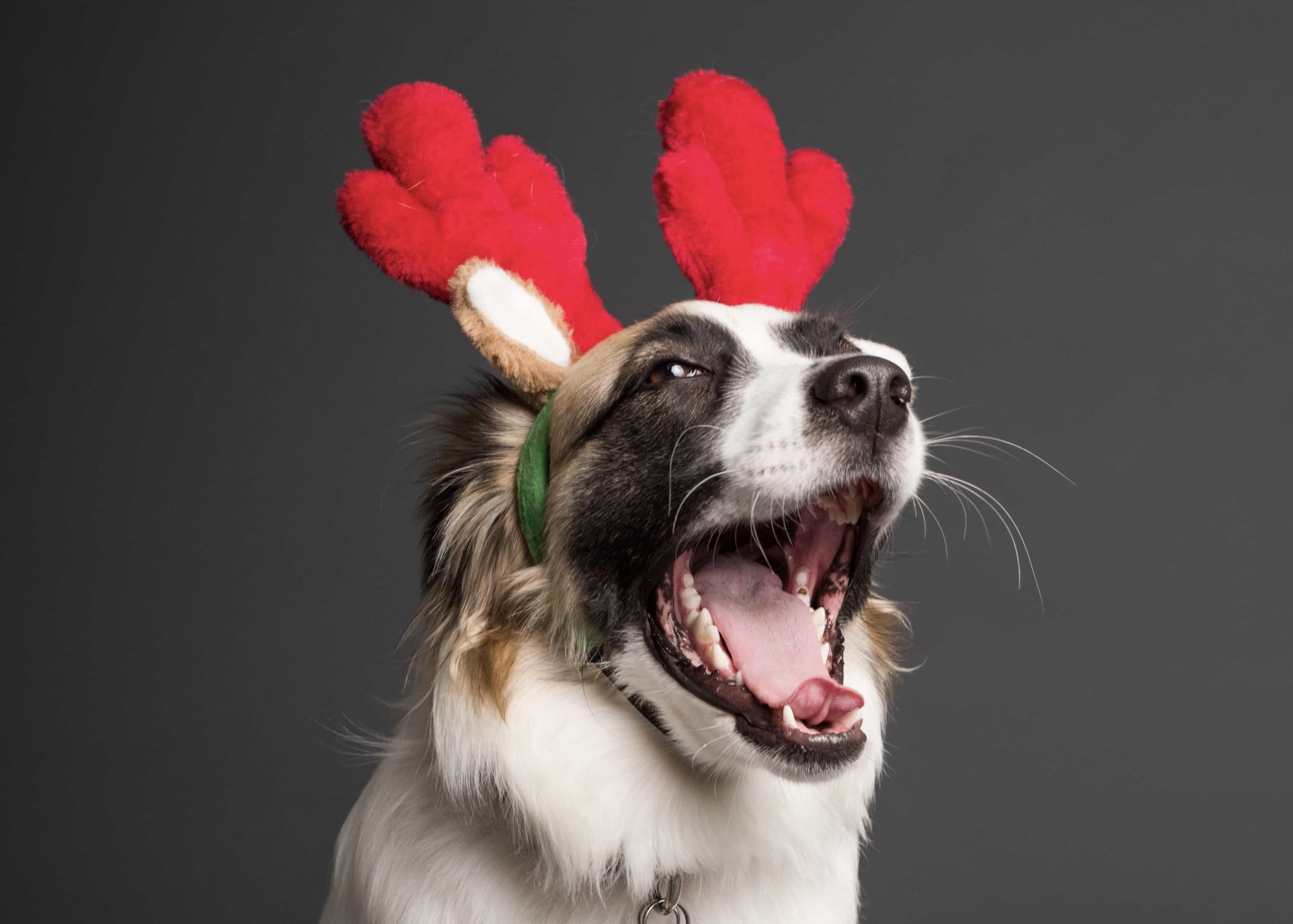 Dog with reindeer ears